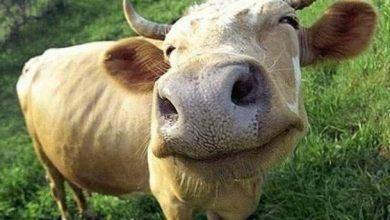 Photo of What a cow looks like after it's blow-dried will cause you to smile and get a case of the feels